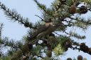 185H6713_Redcrossbill_possible_2icy_female.jpg