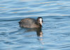 100_3405_coot_food_front_view.jpg