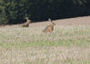 185H5728-Hare2_on-field2.jpg