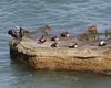 185H7002-eider-on-concret_cormorant.jpg