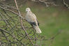 IMGF8438_dove-turtle_tree2.jpg