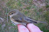 IMG_3255_Willow_warbler_sideView_2010-April-18.jpg