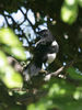 IMG_6866-husskade-1k_hidding-in-tree.jpg